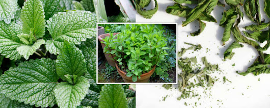 About Fresh mint and dried mint herb used in Persian Food Recipes | MysticPersia.com Cool T-shirts Bumperstickers Stylish Accessories
