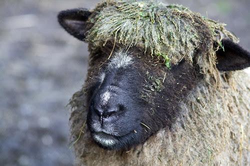 alfalfa-head Cookie