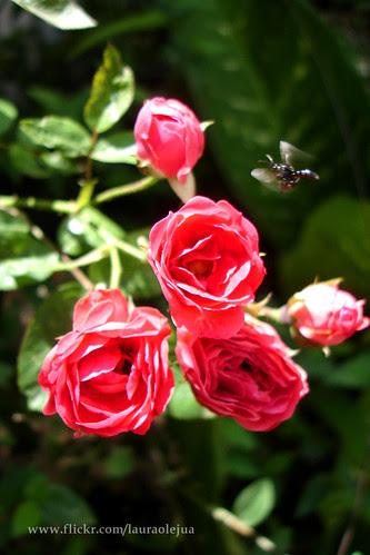 Bee flying. by Laura Olejua - www.lauraolejua.com
