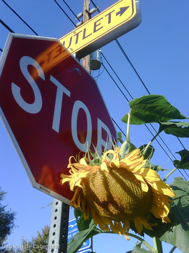Sunflower and stop sign