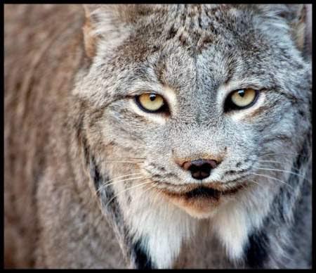 Canadian lynx wildcat