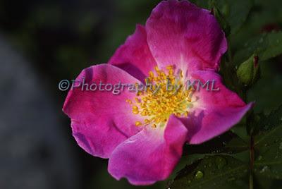 bright pink wild rose