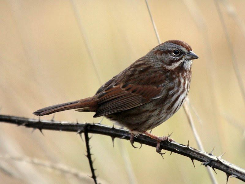 Rusty Song Sparrow (Melospiza melodia morphna)