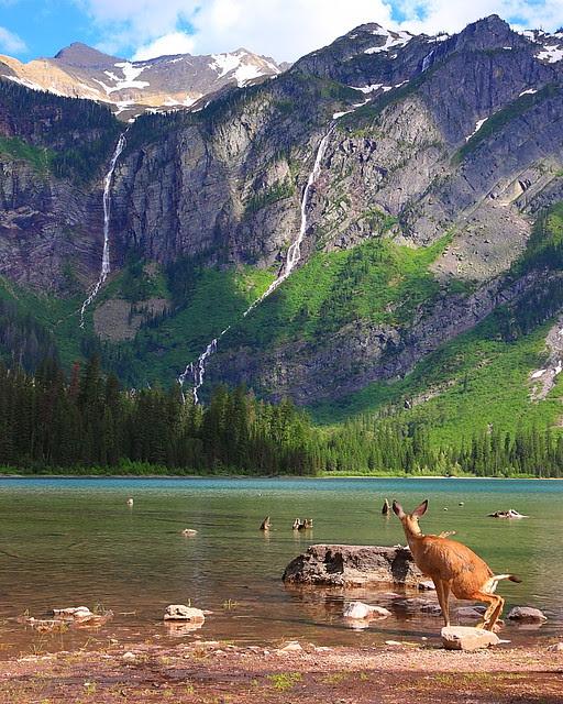 IMG_2457 Mule Deer Enjoying Avalanche Lake, Glacier National Park