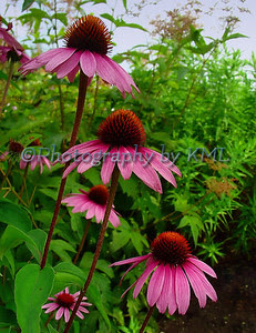 mauve colored coneflowers with green leaves