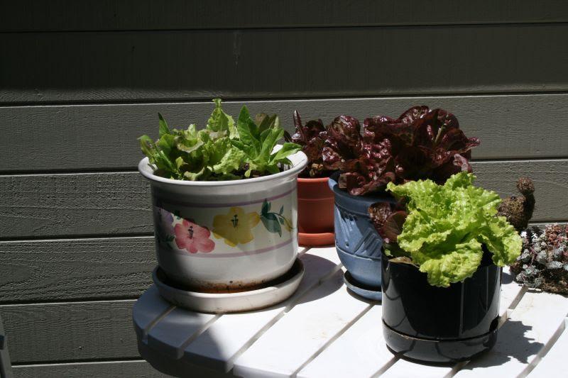 Lettuce May 18, 2008