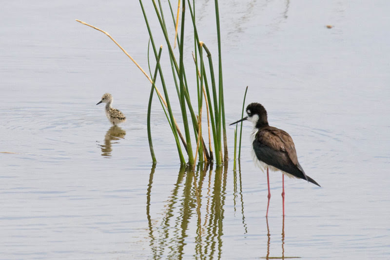 Black-necked Stilt and chick