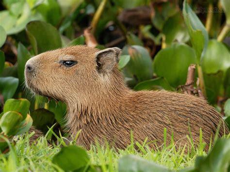 kapybara, Venezuela / Capybara, Venezuela