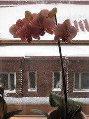 orchid_snow241108
