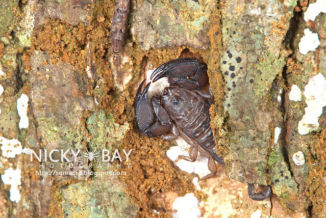 Scorpion (Liocheles australasiae?) - DSC_6014