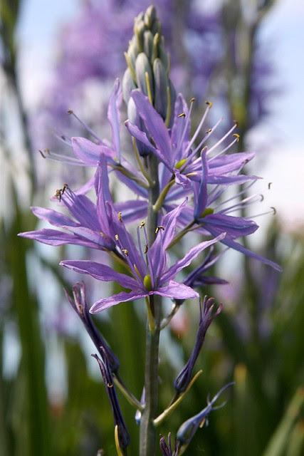 camas flowers