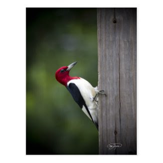 Georgia Woodpecker Post Cards