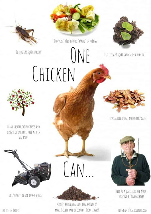 What One Chicken Can Do