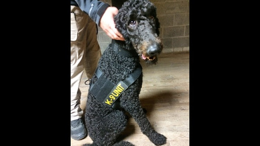 Poodle and Lab Train to be K9s