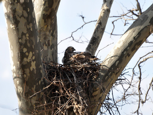 Riverside Mama Red-Tail Hawk