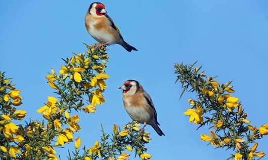 POLL: Should Malta be sanctioned for continuing to slaughter songbirds? » Focusing on Wildlife