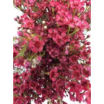 Red Tinted Wax Flower 14 Bunches