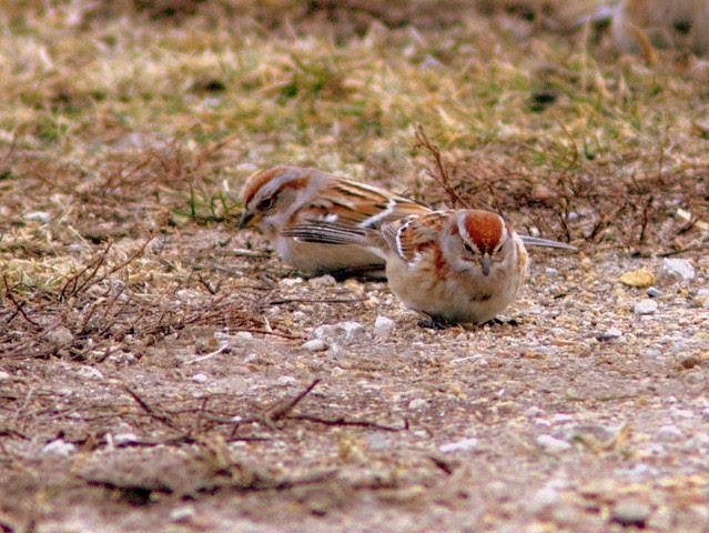 American Tree Sparrows 5-20130110
