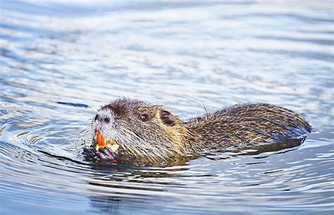 Nutria ? An Animal You Will Be Seeing More Of