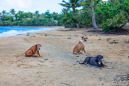 Stray Dogs on Beach, Vieques, Puerto Rico