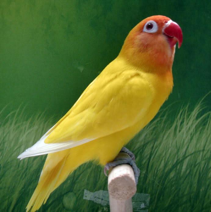 Download 740+  Gambar Burung Lovebird Keren HD