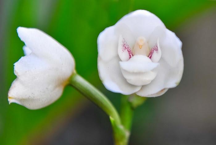 Похожая на кремовый тортик, а чашечка цветка так и манит своим ароматом, и видом.