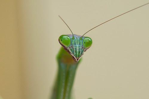 preying mantis - kamakiri