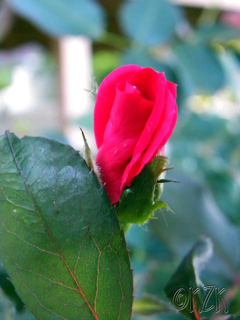 DSCN1791 Rosebud