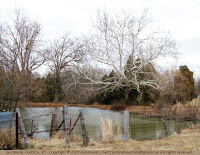 Sycamore at a pond's edge