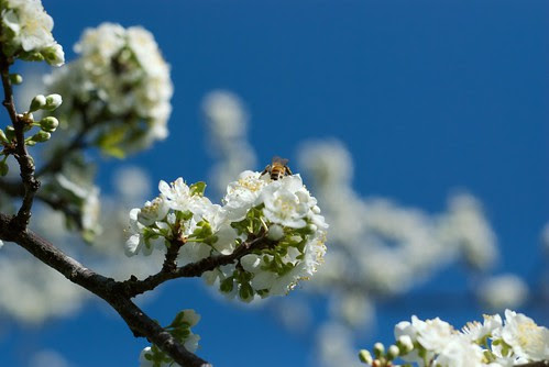 Honey Bee collecting pollen on Pear Tree Blossoms