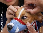 Red Scleras (blood-shot eyes), Jack Russell. Attack dog. Toa Payoh Vets