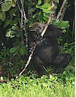 Ape 4