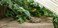 Crouching Toad, Hidden Amphibian by Teckelcar