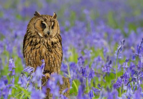 Long Eared Owl in Bluebells