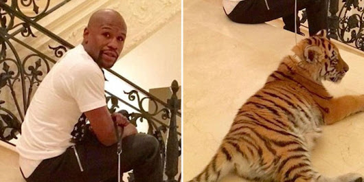 petition: Mayweather: Give Your Tigers to Sanctuaries!