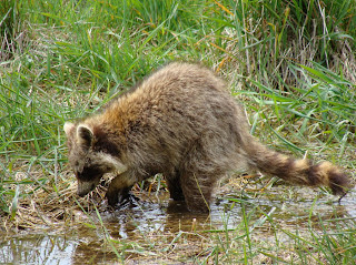 Racoon feeding in water