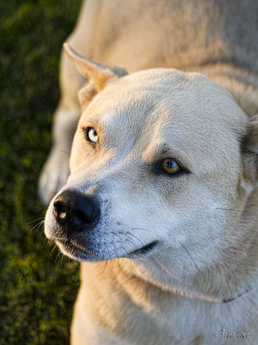 Blue and brown eyed dog