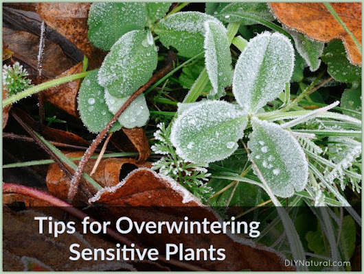 Easy Ways to Overwinter Sensitive Outdoor Plants - DIY Natural