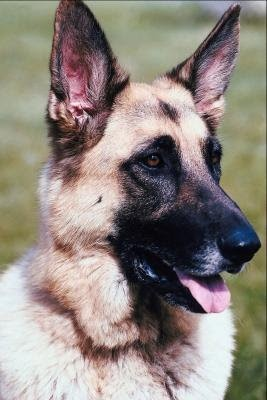 Dogs Health Remedy For Discoid Lupus In Canines