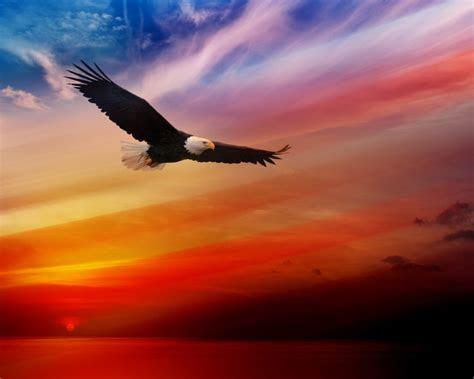 bald eagle flying  sunset red sky desktop hd wallpaper