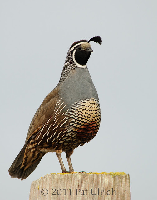 Quail standing tall -- Pat Ulrich Wildlife Photography