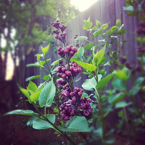 """Lilac - another plant to add to the short """"have not killed"""" list"""