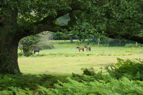 Ponies in New Forest, UK