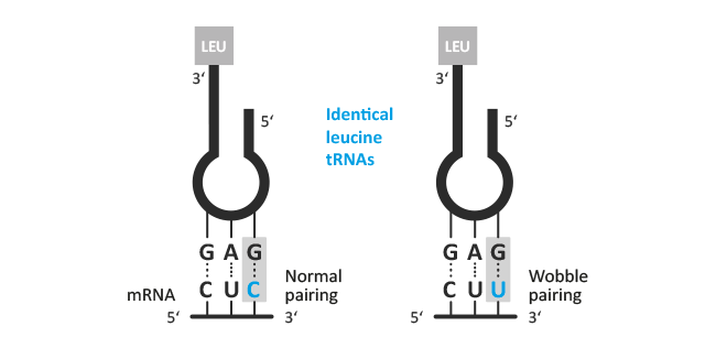 http://www.biomers.net/Media/Infografiken/tRNA_Wobble_Base.png