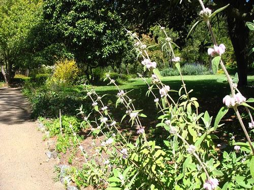 Phlomis (Blake Garden)