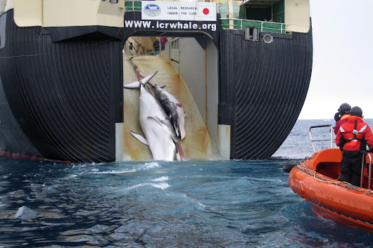 Japan Set to Embark on New Hunt for 333 Whales