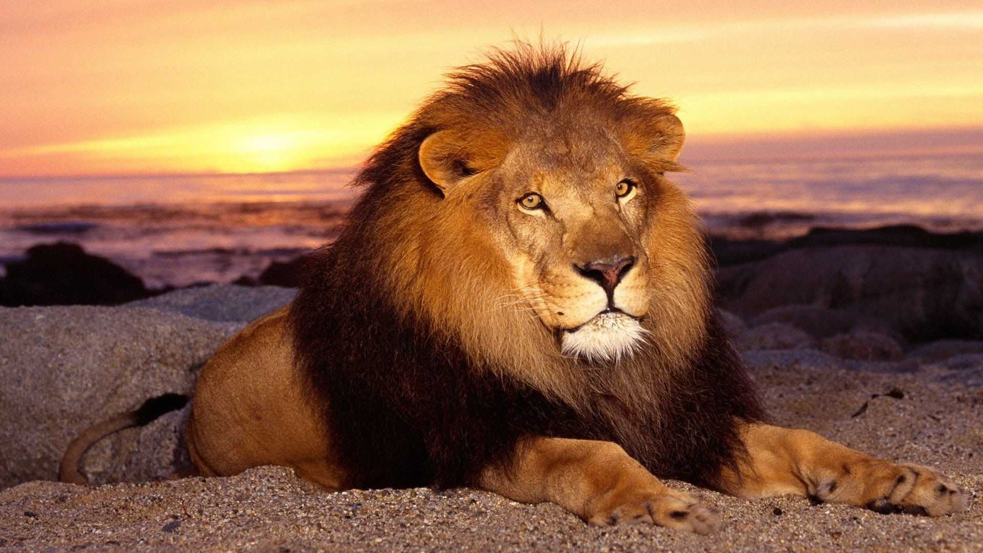 Beautiful Hd 1080p Full Hd Angry Lion Wallpaper Images