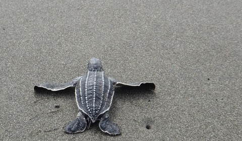 Is Plastic a Chronic Killer? Calculating the Toxicity of Plastic Ingestion to Sea Turtles.