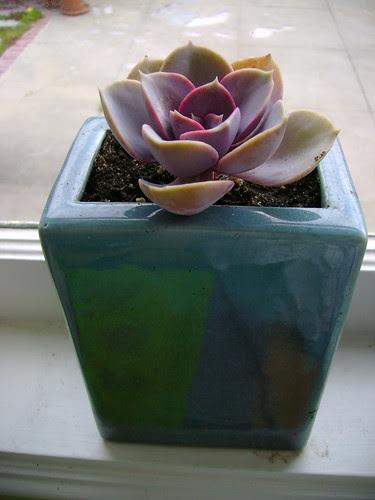 rosey cactus