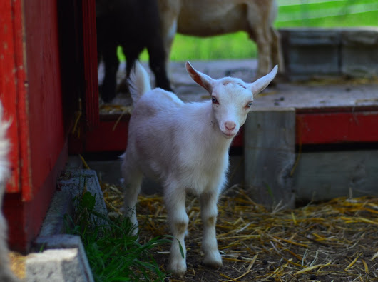 Kidding Around (& Eating Treats) at Haute Goat Farm - Eat Drink Travel Magazine